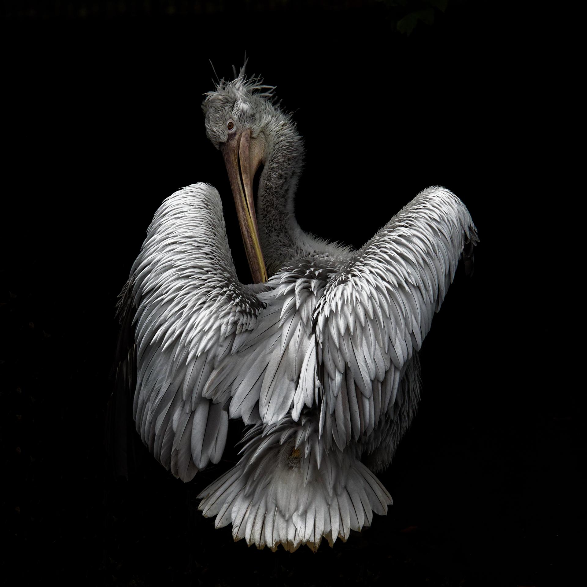 Pelican - Alain CORNUT-GENTILLE