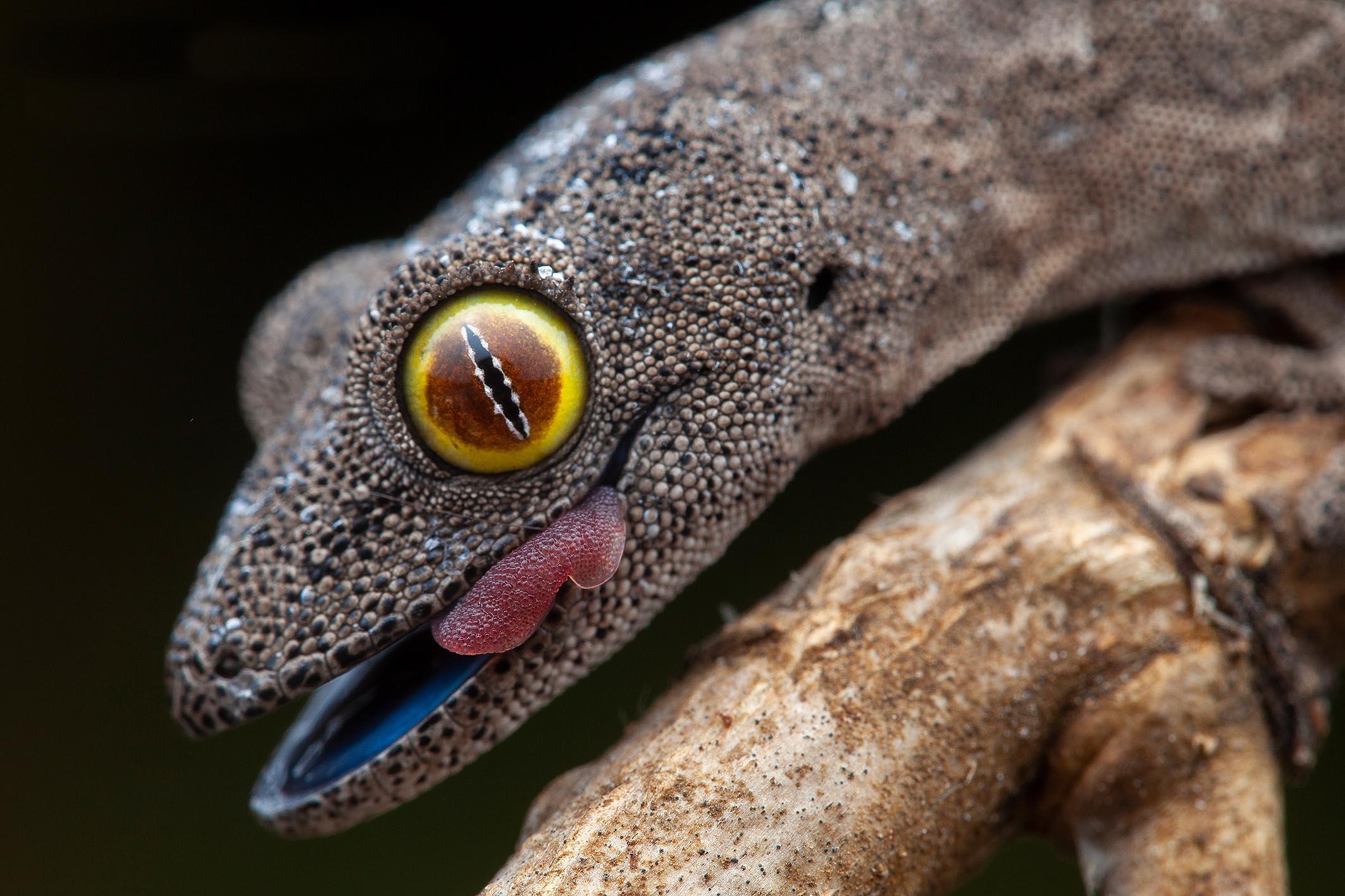 Gecko Frank Deschandol Invité d'honneur