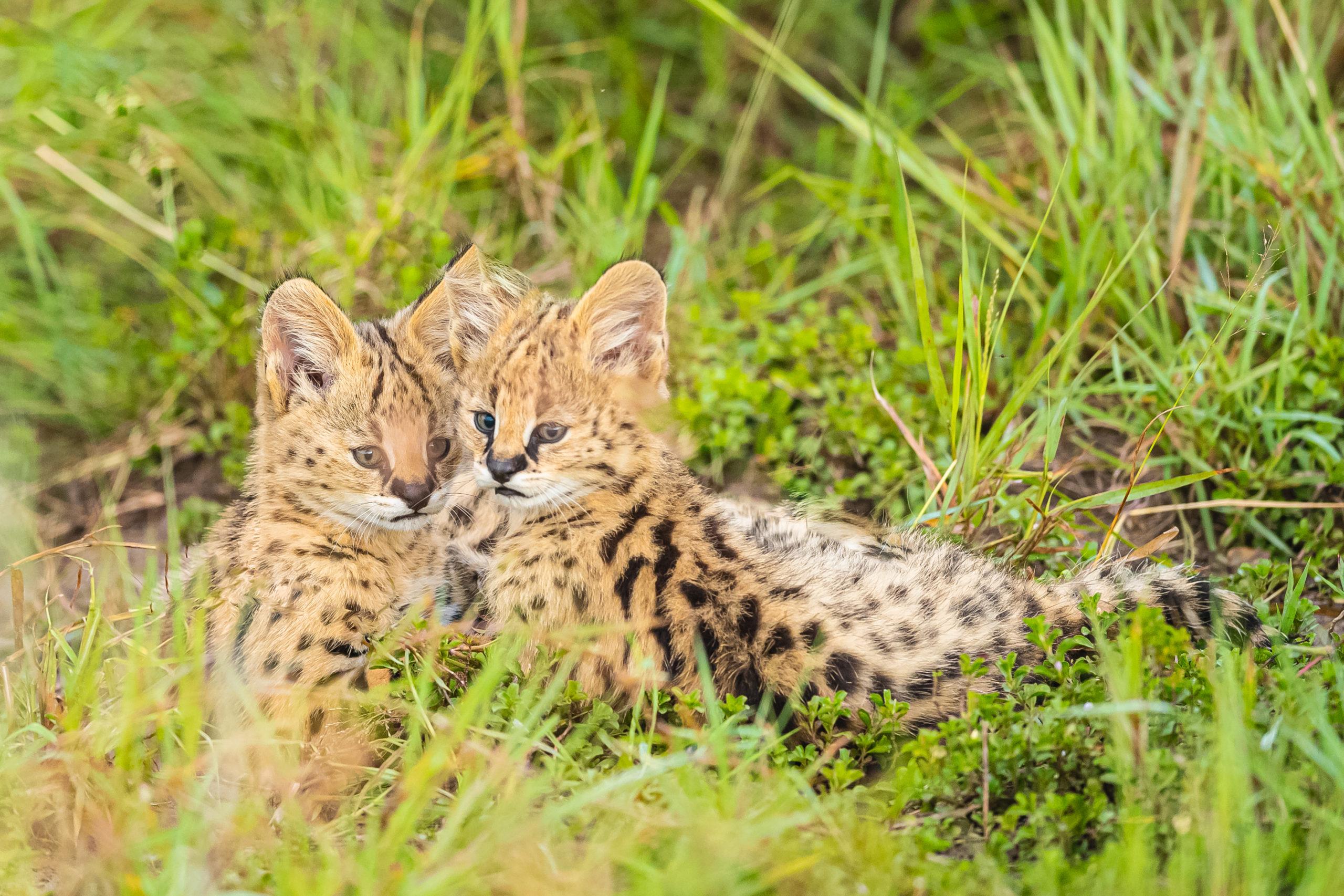 MONTANARI Jacques - Une famille Serval dans les hautes herbes